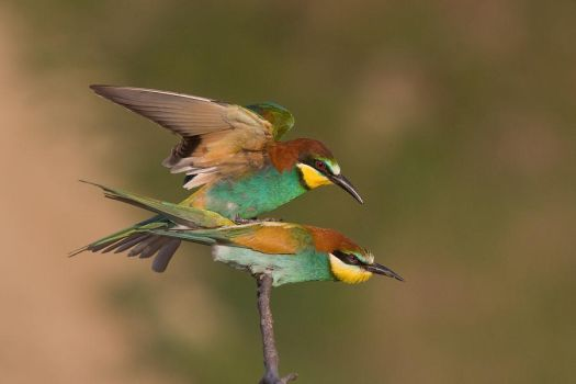 Mating bee-eaters by JMrocek