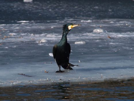 March 4th, Cormorant by Taliesin-Neonblack