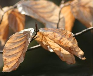 Brown leaves by profke