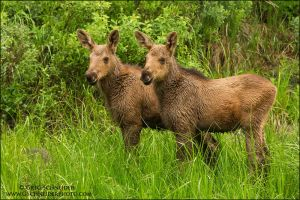 Pair of cuties - moose calves by gregster09