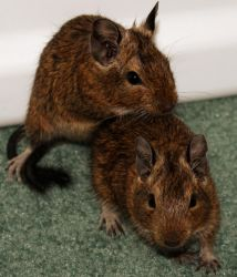 Male Degus by Lovely-DreamCatcher