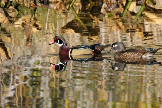 Wood Duck Pair by swashbuckler