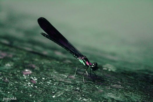 lil dragonfly by JuNoDa
