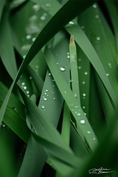 Raindrops on rushes by themanitou