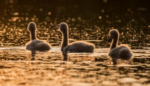 Golden Cygnets! by Mincingyoda