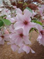 Cherry Blossums by emsley05