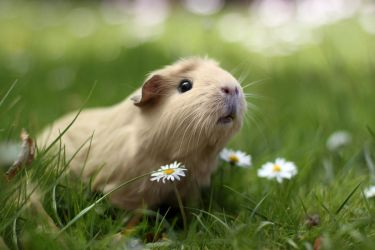 Guinea pig in nature by meganjoy