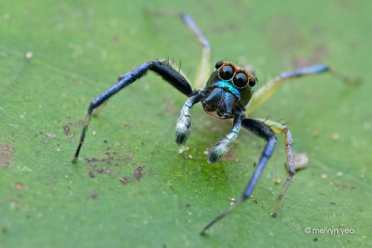 Jumping Spider by melvynyeo