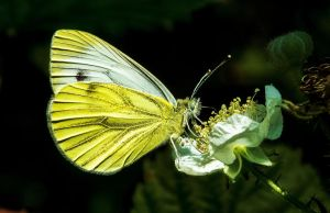 Green-Veined White by EmMelody