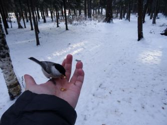 Tomtit on my Hand (4/11/2016) by Sicilium