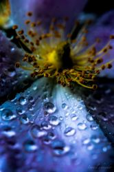 purple blue Morning Dew by isischneider