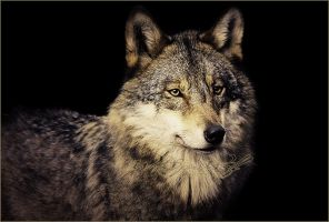 .:Out of the Dark:. by WhiteSpiritWolf