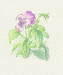 Pansies by Red-Clover