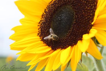 Bee at the sun(flower) by SymphonicA19