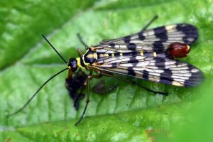 780 Scorpion fly by RealMantis