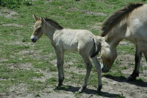 Asian Wild Horse 6 by CastleGraphics