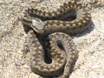 Snake in the Sand by Cloudy-Head