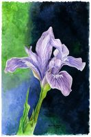 Iris by mattmcmanis