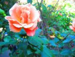 San Fransisco Rose by Sing-Down-The-Moon