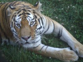 Colchester Zoo photos 25 by pan77155