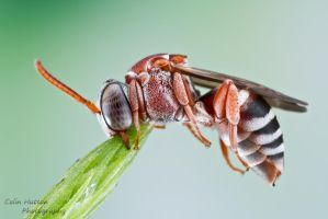 Cuckoo Bee - Triepeolus rufithorax by ColinHuttonPhoto