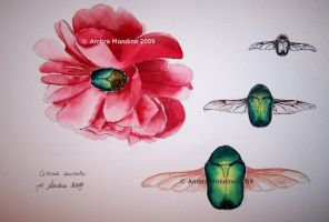 The rose chafer by flysch