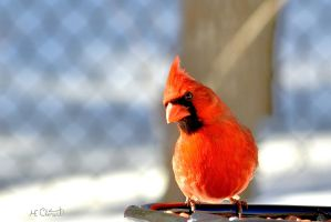 Red Cardinal by Spid4