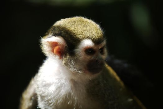 Squirrel monkey by Suit-n-Shades