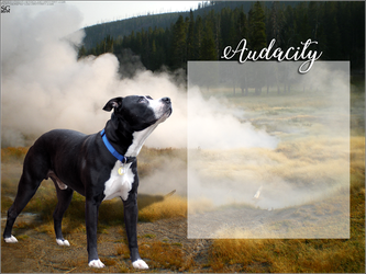 AUDACITY's American Pitbull Terriers by magsislove