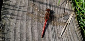 Sympetrum by Bambaryllo