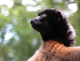Crowned Sifaka by Henrieke