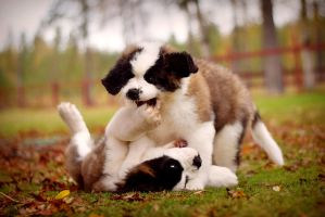 Playful puppies by Exempeel