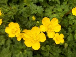Buttercups by ARovnyak