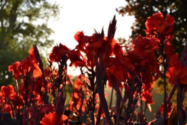 Red Flowers by petralfire