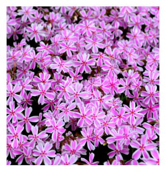 Candy Stripe Phlox by Of-Heliotropes