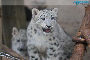 Snow Leopard Cubs 6489 by mgroberts