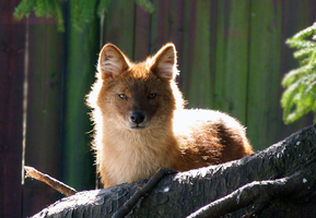 Dhole by TheMysticWolf