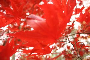 Red Maple 6 by Aquiose