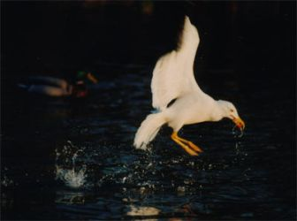 Seagull in flight by wingfinger