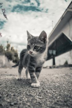 Little Cat on Street by Lc-Korim