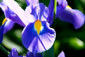 Purple Irises II by LDFranklin