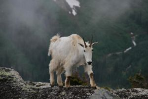 mountain goat by BCMountainClimber