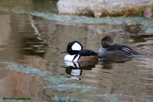 Hooded Mergasner by Riphath