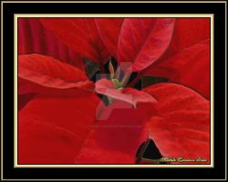 Poinsettia by angelfire226