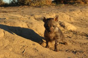 brown hyena pup 4 by DoWnHIller