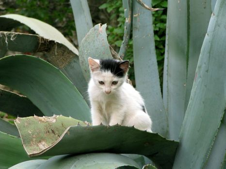 Agave's kitten by Gogha