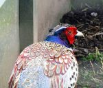 Ring Necked Pheasant by davecbend