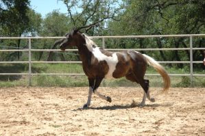 Arab Pinto Mare Stock by kaons