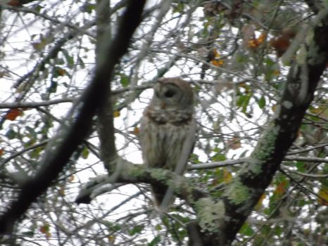barred owl (Strix varia) by Bellis-Wingclaw