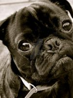 Quizzical Pug by dapplejuice